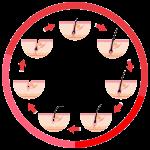 Haarzyklus_freigestellt