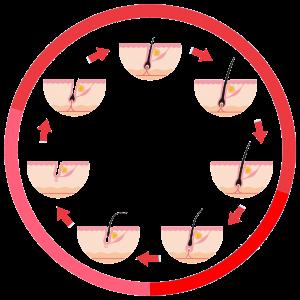 der Haarzyklus
